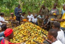 Cocoa_farmers_in_Ghana_harvesting_Cocoa